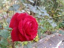 Rosas na manhã imagens de stock
