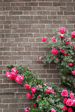 Rosas na parede de tijolo Imagem de Stock