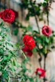 Rosas na rua As rosas cor-de-rosa e vermelhas crescem nas ruas de M Foto de Stock Royalty Free
