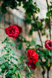 Rosas na rua As rosas cor-de-rosa e vermelhas crescem nas ruas de M Fotos de Stock Royalty Free