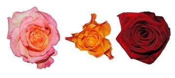 Rosas no branco Fotos de Stock Royalty Free