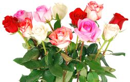 Rosas no branco. fotografia de stock royalty free