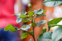 Rosas no florecidas del brote en Bush foto de archivo
