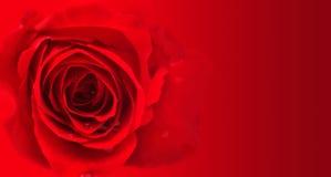 Rosas no fundo vermelho Fotos de Stock Royalty Free
