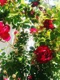 Rosas no jardim Foto de Stock Royalty Free