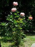 Rosas no jardim Imagens de Stock