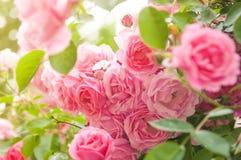 Rosas no jardim Fotos de Stock Royalty Free