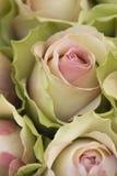 Rosas no jardim imagem de stock royalty free
