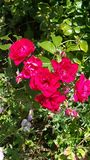 Rosas no jardim Fotografia de Stock