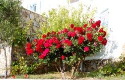 Rosas no jardim Imagens de Stock Royalty Free
