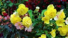 Rosas no jardim video estoque