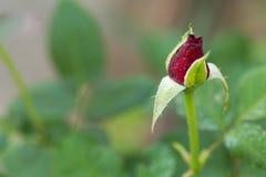 Rosas no jardim, rosas para o amor Foto de Stock