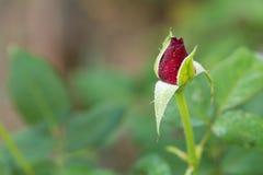 Rosas no jardim, rosas para o amor Fotografia de Stock Royalty Free