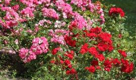 Rosas ornamentales Imagen de archivo