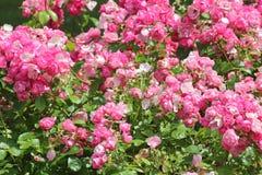 Rosas ornamentales Imágenes de archivo libres de regalías