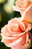 Rosas pálidas Imagem de Stock Royalty Free