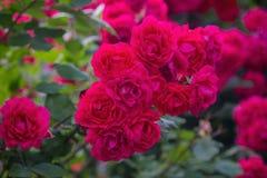 Rosas púrpuras en el cierre del jardín para arriba Fotos de archivo