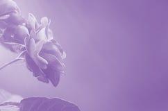 Rosas púrpuras en extracto borroso del fondo Foto de archivo libre de regalías