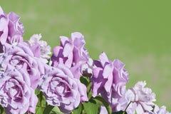 Rosas púrpuras en un fondo verde fotografía de archivo libre de regalías