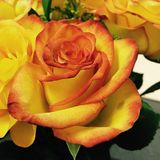 Rosas para una amistad Foto de archivo libre de regalías