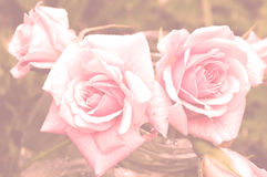 Rosas pasteis Foto de Stock