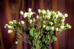 Rosas pequenas brancas bonitas frescas indoor Imagem de Stock