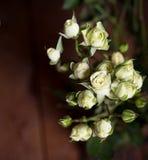 Rosas pequenas brancas bonitas frescas indoor Fotos de Stock
