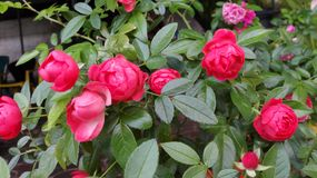 Rosas pequeno Fotografia de Stock