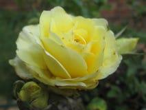 Rosas 02 por Kambas Foto de archivo libre de regalías