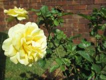 Rosas por Kambas Imágenes de archivo libres de regalías