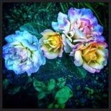 Rosas psicodélicas Fotos de archivo libres de regalías