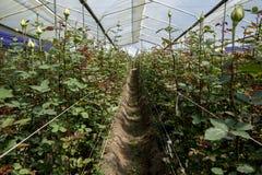Rosas que crescem em uma estufa na plantação das rosas de Compania do La da fazenda perto de Cayambe em Equador Imagens de Stock Royalty Free
