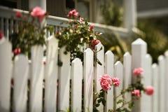Rosas que crescem sobre a cerca. Imagem de Stock Royalty Free