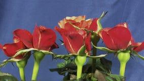 Rosas que florescem video estoque