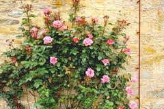 Rosas que suben en el jardín Fotos de archivo