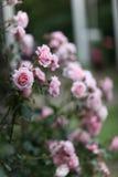 Rosas que suben rosadas Foto de archivo