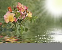 Rosas reflected in the water. This image shows a reflection of roses on the water, conveying calm and serenity Stock Photo