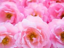 Rosas rizadas rosadas brillantes imagen de archivo libre de regalías