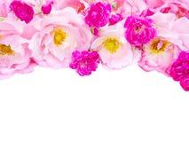 Rosas rizadas rosadas y rosas rosadas vibrantes aisladas en blanco imagenes de archivo