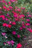 Rosas rojas rojas 2 Foto de archivo libre de regalías