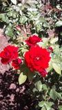 Rosas rojas rojas Fotos de archivo libres de regalías