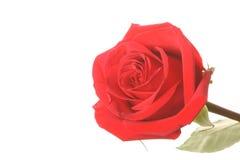 Rosas rojas Foto de archivo