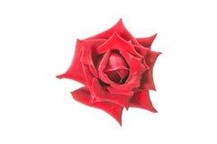 Rosas rojas Fotos de archivo