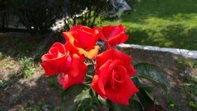 Rosas rojas Imagen de archivo libre de regalías