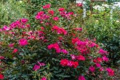 Rosas rojas rojas Imágenes de archivo libres de regalías