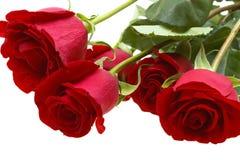 Rosas rojas aisladas en blanco Imágenes de archivo libres de regalías