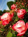 Rosas rojas blancas en un jardín Fotografía de archivo libre de regalías