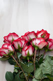 Rosas rojas blancas rosadas con el espacio para el texto o la insignia Fotografía de archivo