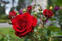 Rosas rojas brillantes Fotografía de archivo libre de regalías