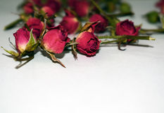 Rosas rojas brillantes en un fondo blanco Fotos de archivo libres de regalías